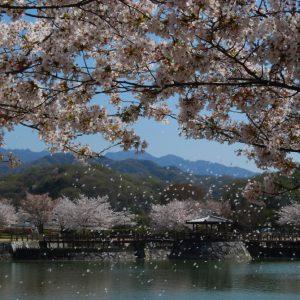 ええ景色賞 「桜 散り初め」 高木 正澄