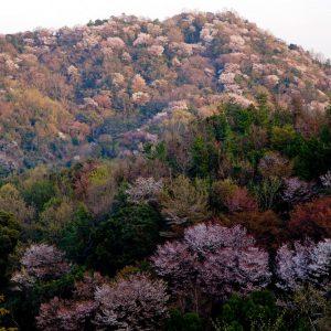 さぬき市議会議長賞 優秀 「満開の山桜」 松本 省五