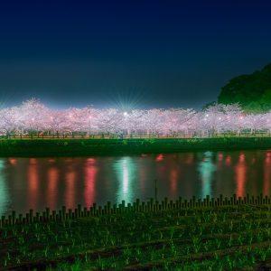 入選 「夜桜」 釜池 和彦